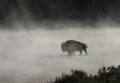Yellowstone bison crossing the river