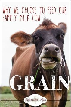 Put down the rocks! 100% Grass-fed might be the most popular choice, but we feed our family milk cow grain anyway and here's why.