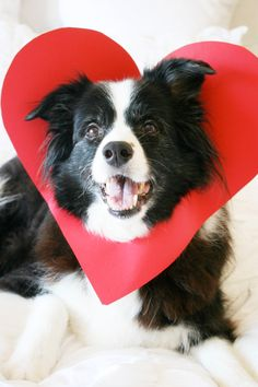 DIY: 5 Minute Dog Valentine - Make the CUTEST Valentine this year – all you need is a your favourite dog and some cardboard to - Valentines Day Dog, Valentines Day Pictures, Valentine Ideas, Dog Photos, Dog Pictures, Pumba, Dog Calendar, Calendar Ideas, Image Hd