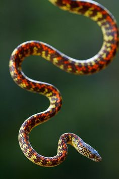 You're looking at a very rare snake - the Painted Night-Liana (Siphlophis cervinus) - that is only found in South America.