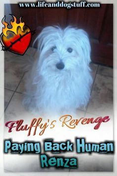 Recently Fluffy the puppy was spayed and betrayed. Mommy Renza is the culprit and she must pay. Here is Fluffy the Puppy's Revenge Plan. Funny Dog Captions, Funny Dog Memes, Funny Dog Pictures, Funny Dogs, Funny Animals, Cute Animals, Cute Dogs And Puppies, Pet Dogs, Food Dog