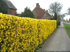 Growing Forsythia bushes will give you a plant that screams spring like no other. The vibrant yellow color of these perennials is wonderful. Cerca Natural, Privacy Landscaping, Garden Landscaping, Landscaping Ideas, Forsythia Bush, Natural Fence, Living Fence, Garden Shrubs, Garden Landscape Design