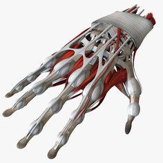 model of anatomy human hand Anatomy Bones, Hand Anatomy, Anatomy Art, Arm Bones, Art Logo, Graphic Design Art, 3d Printing, Impression 3d