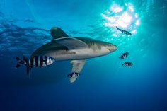 Oceanic White Tip Shark Photo by Henley Spiers -- National Geographic Your Shot All Sharks, Save The Sharks, Types Of Sharks, Species Of Sharks, Save Wildlife, Wildlife Nature, Nature Animals, Sea Whale, Shark Photos