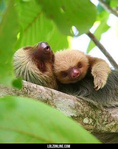 Sloth Snuggles#funny #lol #lolzonline