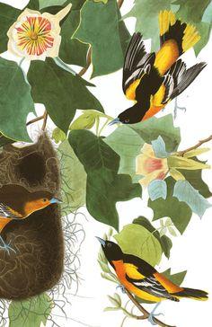 Baltimore Oriole | Audubon