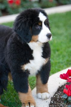 bernese mountain dog-THIS IS OUR NEXT DOG...Bernese.  Check out this guys paws...can't wait to get ours!!