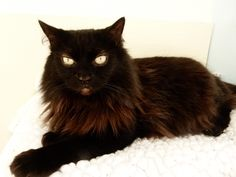 Shale is a 5.5 year old Norwegian Forest/Domestic Medium Hair Mix. A person found her lying injured in their yard, She is now at WCGHS. Shale likes people, but will let you know when she's ready to have you stop petting her. She gets along well with kids over 12, doesn't know about dogs and would prefer to be an only cat. She has been at the shelter since 2008 and is looking for a family who loves her. Come on cat lovers, someone adopt her please!!!