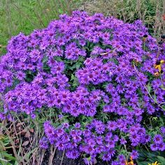 Symphyotrichum novae-angliae 'Purple Dome' New England Aster from Midwest Groundcovers Deer Resistant Perennials, Aster, New England, Nova, Museum, Yard, Purple, Modern, Nature