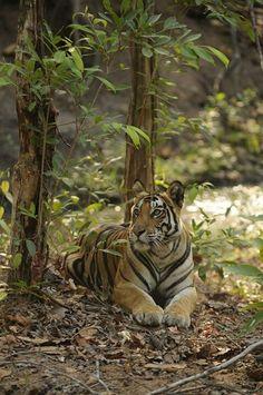 Indian #Tigress at #BandhavgrahNationalPark, #MadhyaPradesh #India