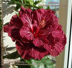 Гибискусы. Хвастовство - 2013 - 2014 г - Все о комнатных растениях на flowersweb.info