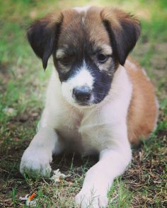 Beautiful puppy for adoption #Delhi To adopt her please call Swati -9650227507