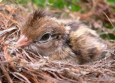 Is there hope for a baby bird that fell out of the nest? How do you care for it? Animals And Pets, Baby Animals, Cute Animals, Cute Animal Pictures, Baby Pictures, Baby Robin Bird, Baby Feeding, Baby Care, Bird Feeders