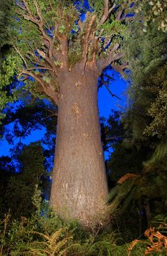 tane mahuta tree - Google Search From the go rentals website. My old camera wasn't good enough. A short walk not to be missed if going through the Waipoua Forest to the Bay of Islands NZ.