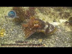 Collection of cuttlefish with lots of flamboyant cuttlefish footage Cuttlefish, Ark, Octopus, Animals, Collection, Animales, Animaux, Animal, Calamari