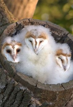 ~~Three barn owl chicks snooze in their fluffy tree stump bed waiting for their parents to return with food in Saxumundham, Suffolk by Paul Sawer~~