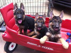 baby german shepherds