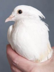 Fancy Pants is an adoptable Dove Dove in Chicago, IL. Fancy Pants is a healthy fancy white Dove looking for a loving guardian. Poor Fancy was found with a broken wing in the back yard of a Chicago res...