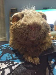 """happy meditating guinea pig - """"Nommmmmmm"""""""