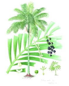 palmito-Euterpe-edulis-com-ajuste-de-cor-cópia.jpg (imagem JPEG, 508 × 630 pixels)Diana Carneiro