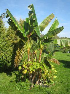 Wie man aus einer Banane eine neue Pflanze zieht