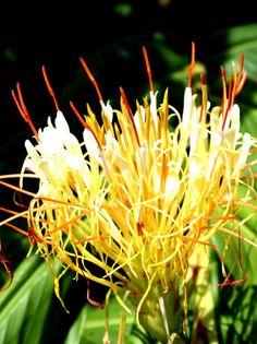 Supplied bare rhyzome Hardy exotic flowering ginger plant Hedychium ellipticum