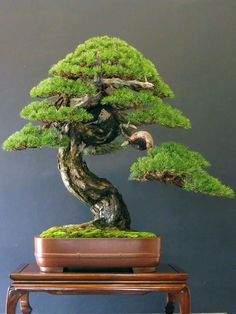Bonsai trees and plants are basically trees and plants that are pruned and trimmed to keep their size minimal. Bonsai Tree Price, Buy Bonsai Tree, Japanese Bonsai Tree, Bonsai Trees For Sale, Pine Bonsai, Bonsai Tree Care, Bonsai Tree Types, Tree Sale, Juniper Bonsai