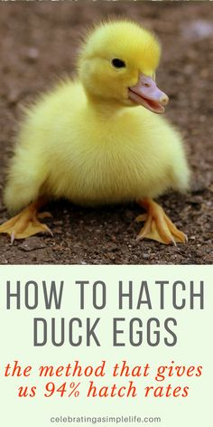 This is the method we use, and it gives us very consistent 94% hatch rates with our small heritage breed hatchery