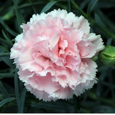 Carnations Flowers: Carnation Flower Gallery 7