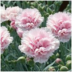 Oeillet mignardise rose frange floraison mai à septembre