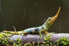 This lizard does not look that old but it had not been seen for 50 years. An eco-tourist group came across this Pinocchio lizard in Ecuador. Beautiful Creatures, Animals Beautiful, Cute Animals, Pinocchio, Reptiles And Amphibians, Mammals, Female Of The Species, Interesting Animals, Endangered Species