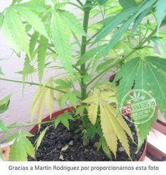 Si las hojas viejas de tu planta van amarillando hasta palidecer, arrugarse y caerse, tienes una carencia de nitrógeno y deberás solucionar lo antes posible