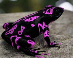 An atelopus frog with fluorescent purple markings. Threatened by illegal gold mining, it was only first discovered in 2007 in the South American highlands of Suriname.