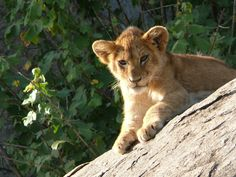 simba swahili | Simba is the Swahili word for Lion, this is our most popular safari of ...