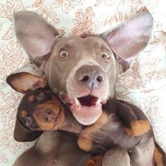 Very interesting post: Weimaraner Puppies - 32 Pictures.сom lot of interesting things on Funny Dog. Selfie Gato, Dog Selfie, Selfie Time, Cute Puppies, Cute Dogs, Dogs And Puppies, Doggies, Adorable Babies, Animals And Pets