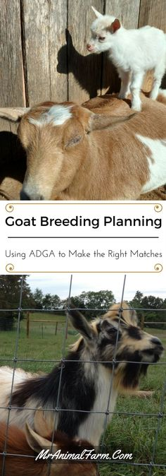 Want to have cute baby goats, but not sure how to make your goat breeding plans?  Goat breeding planning can leave you with some hard decisions.  Find out the ONE tool that can make your goat breeding decisions easier!