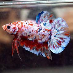 Live Betta Fish Male BIG ONE Fancy KOI FULL GALAXY STAR Halfmoon PK 401