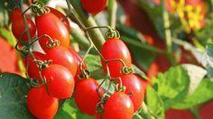 Wer einmal die Vorzüge von selbstgezogenen Tomaten genossen hat, wird nie wieder darauf verzichten wollen. Gärtnermeister Peter Berg zeigt uns die ersten Schritte beim Pflanzen.