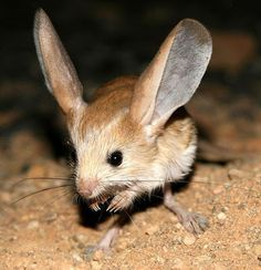 The Long-eared Jerboa, is a nocturnal mouse-like rodent with a long tail, long hind legs for jumping, and exceptionally large ears. It is distinct enough that authorities consider it to be the only member of both its genus, Euchoreutes, and subfamily, Euchoreutinae.