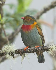 Red-Banded Fruiteater, Photo Ester Ramirez | Wiki Aves - A Enciclopédia das Aves do Brasil