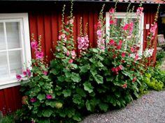 "Hollyhocks (""stockrosor"") - a must in your cabin garden in Sweden."