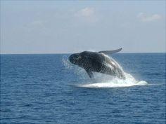 Las ballenas en samana