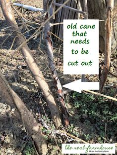 How to prune your raspberries. The 3 biggest factors in how big and juicy your raspberries get. Plus what things you don't need to worry about cuz they don't make any difference.