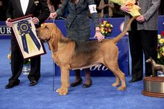 Nathan, 4 year-old male Bloodhound, winner of the 2014 'National Dog Show