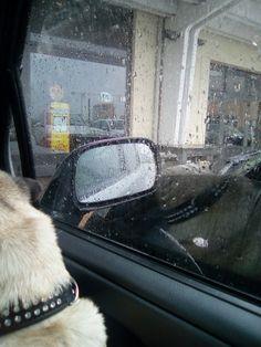 #drops #pug #cute #love #dog #car #rain