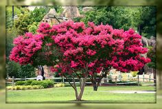 We have the most beautiful crepe myrtle trees here in Williamsburg