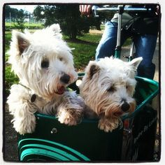 Now this is the way to take a Westie for a walk - just pop 'em in the bike basket and go!