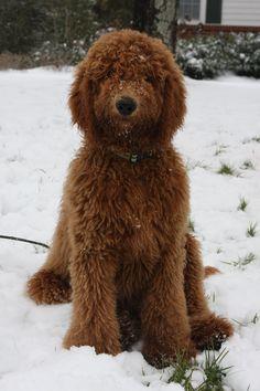 : ) Goldendoodle Ollie