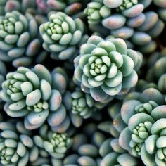 Sedum dasyphyllum 'Major' - Corsican Stonecrop. Classic evergreen perennial groundcover forms a low carpet of tiny round powdery blue-grey leaves, accented by tiny white flower clusters. A perfect choice for the rock garden, between stepping stones or in the crevices of dry walls. Evergreen in mild winter climates. Z5-9, full sun