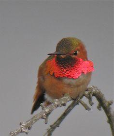 Allen's Hummingbird - gorget